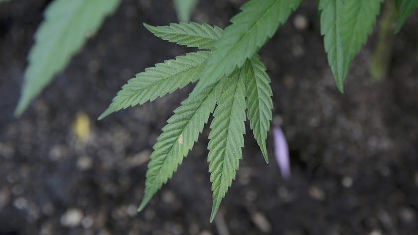 cannabis ads